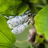 Mating White Weevils