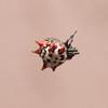 Crablike Spiny Orbweaver