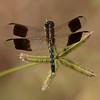 Band-winged Dragonlet